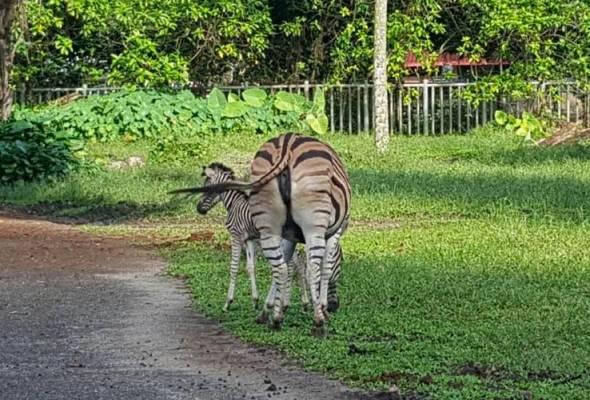 Kuda belang di Zoo Taiping lahir anak lagi