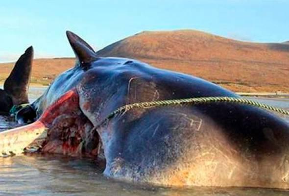 Ikan paus mati dengan sampah 100kg penuh dalam perut