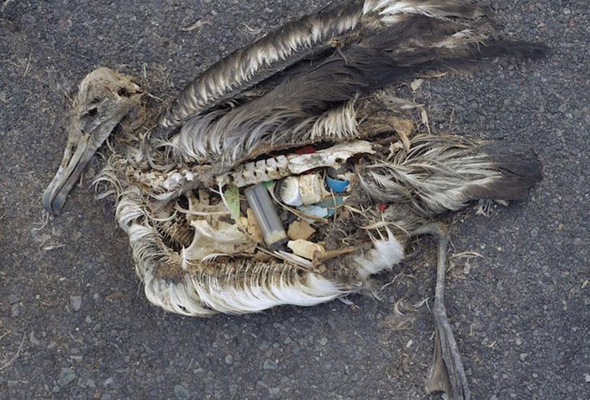 Pembedahan ke atas burung ini menunjukkan jumlah sampah plastik yang dicerna haiwan tersebut. Pencemaran plastik mengakibatkan kematian jutaan spesies burung laut setiap tahun. Foto Smithsonian
