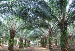 Malaysia condemns WHOs advice against palm oil 3