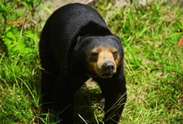Produk hempedu beruang matahari tiada kaitan dengan pemburuan haram - Pakar