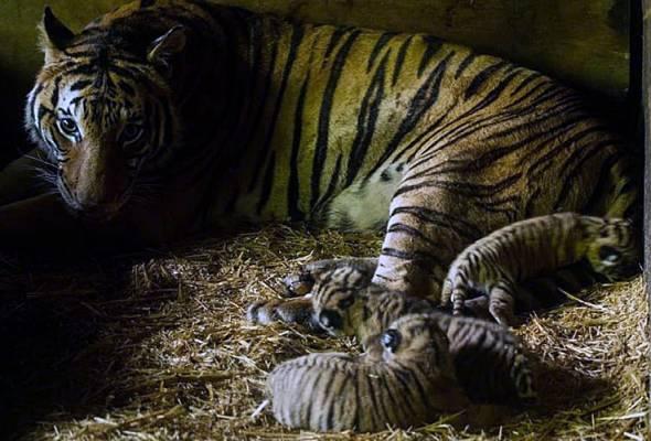 'Harimau Malaya' lahirkan tiga anak di Zoo Taiping