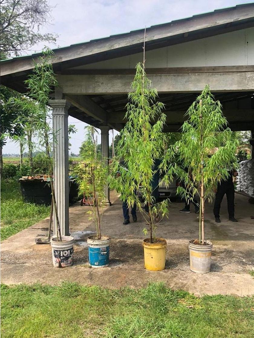 Pokok ganja subur di halaman rumah, 'Mat Tarzan' beri alasan itu disangka pokok buluh