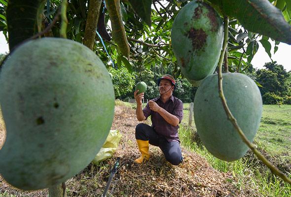 Pembantu makmal perintis tanaman Harum Manis di Kelantan
