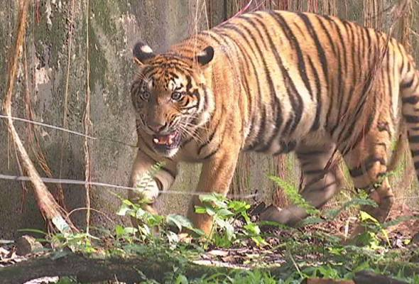 Gosok gigi harimau? Ini jawapan penjaga harimau Malaya Zoo Negara