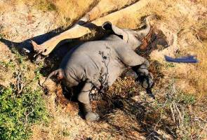 What are the micro-organisms causing elephant deaths in Botswana?
