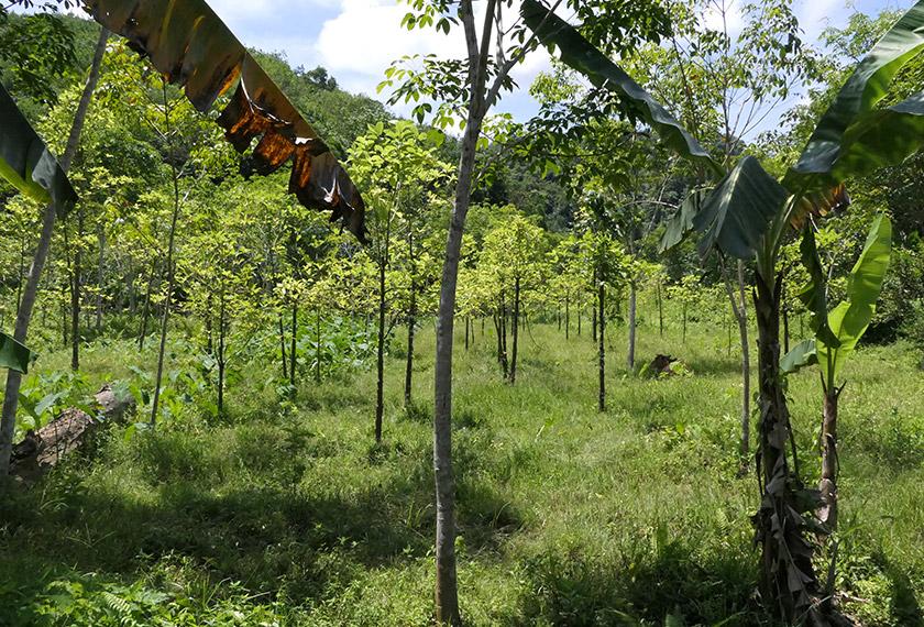 Sehingga kini dianggarkan sebanyak 33 kebun daun ketum di Kedah masih lagi aktif. -Astro AWANI/Fareez Azman