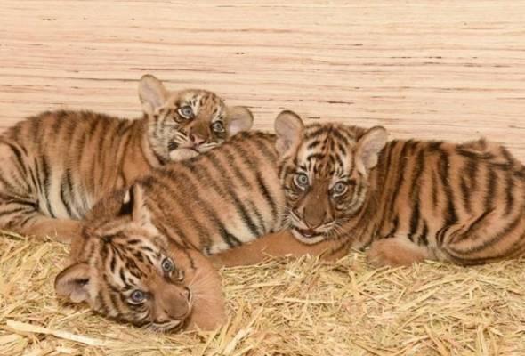 Puntum, Teja, Bayu, nama tiga anak Harimau Malaya di Zoo Taiping