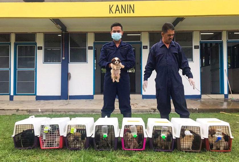 Anjing dari pelbagai baka itu tidak mempunyai sebarang dokumen seperti Permit Import sah yang dikeluarkan oleh Jabatan MAQIS dan Sijil Kesihatan dari negara asal. - Foto Astro AWANI
