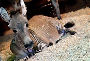 "Meet the ""zonkey"": Rare zebra-donkey hybrid draws crowds in Italy"