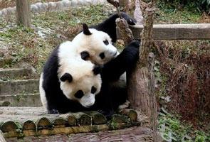 Kos di sebalik meminjam panda dari China