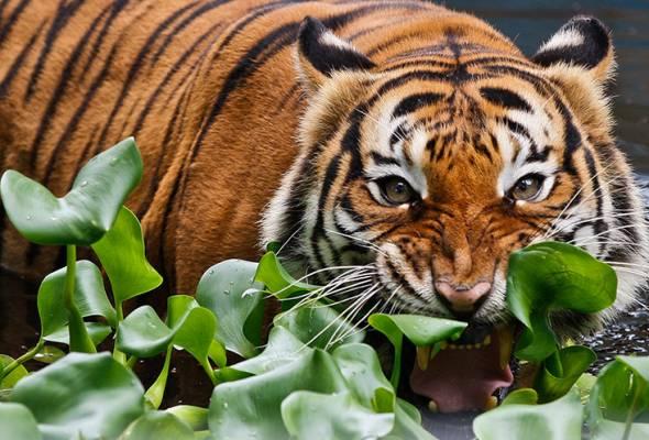 Ahmad Azhar turut mengesahkan penemuan tapak kaki harimau di lokasi yang dilaporkan itu. - Gambar hiasan | Astro Awani