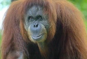 Populasi orang utan Borneo menuju kepupusan, kata pakar konservasi