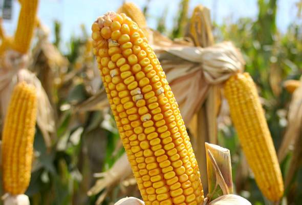 Malaysia, Thailand agree to work together to develop maize