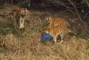 Insiden lelaki maut dibaham harimau dirakam pengunjung zoo