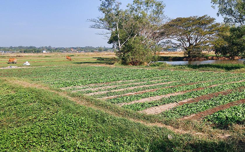 When U Ko Aye isn't planting Paw San rice, he plants mustard and watercress. Karim Raslan Photo