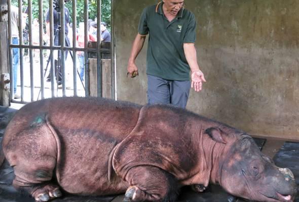 Bagaimana kepupusan badak sumbu Sumatera boleh mengundang bencana?