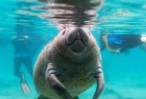 Bangkai dugong ditemukan di Mersing