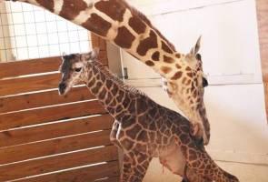 As millions watch via webcam, giraffe gives birth in NY zoo
