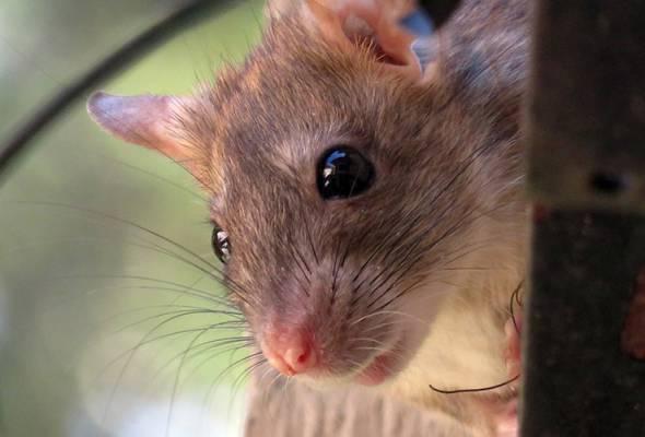 Pada Jun, 40 tikus yang dirawat dengan NELL-1 akan dilancarkan ke Pangkalan Angkasa Lepas Antarabangsa untuk menguji sama ada kehadiran molekul akan menghalang kelesapan tulang yang berkaitan dengan mikrograviti. - Foto Pixabay.com | Astro Awani