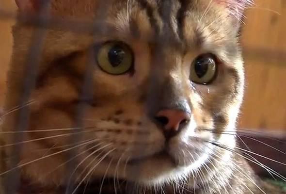 Bengal merupakan baka kucing yang sangat aktif dan memerlukan pemilik yang sentiasa rajin melayan kerenahnya. | Astro Awani