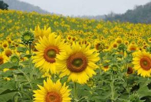 Ladang bunga matahari tarik pelancong ke Taman Negara Khao Yai