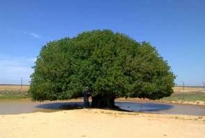 Pokok tempat berlindung Rasulullah kekal segar hingga ke hari ini