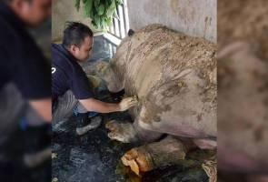 Iman si badak sumbu terus alami pendarahan, mungkin tidak dapat bertahan