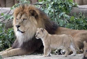 Wanita nyaris dibaham ketika bergambar dengan singa