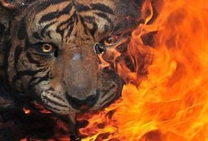 Disangka harimau jadian, harimau sumatera dirodok dan digantung pada siling
