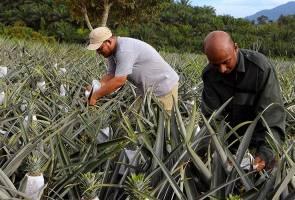 Sarawak berpotensi besar pengeluar nanas negara