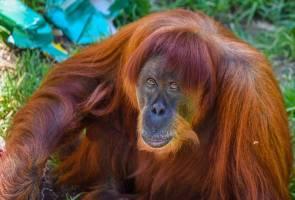 Orang utan tertua 62 tahun mati di zoo Australia