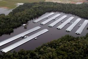 Korban Florence: Kira-kira 1.7 juta ayam mati lemas gara-gara banjir, babi pun tak terkecuali