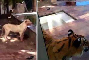 Ngeri! Berang dimarahi, harimau dan singa peliharaan 'makan' tuan sendiri