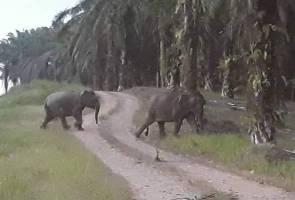 Lebih 60 gajah 'rempuh' ladang kelapa sawit