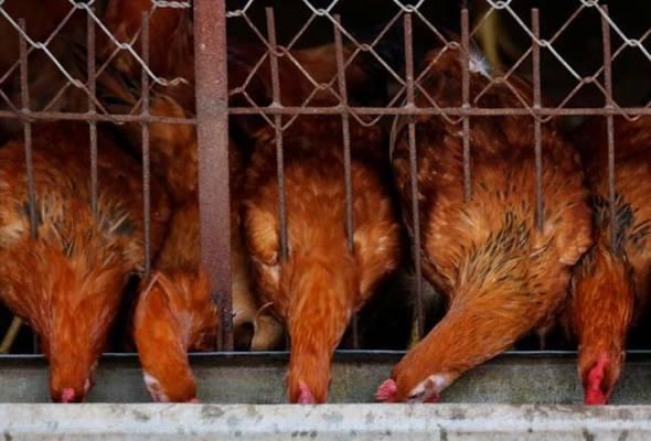 Hukuman lebih berat menanti penternak unggas di Perak yang cemar alam sekitar