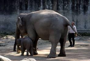 Taiping lahirkan anak gajah kelima