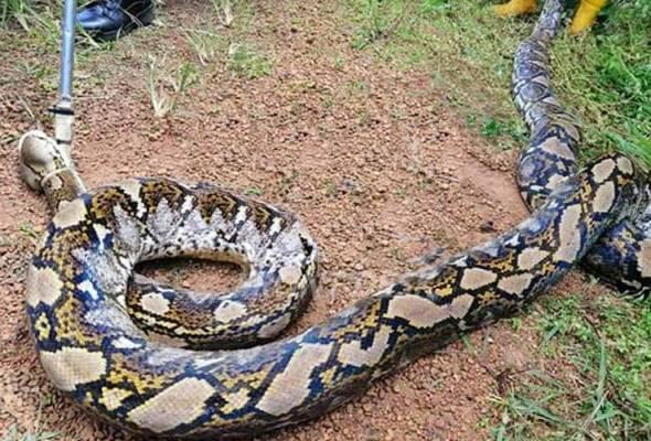 Seekor ular sawa batik seberat 180 kilogram ditangkap Angkatan Pertahanan Awam (APM) Kluang di ladang kelapa sawit di Ladang Nenas, Simpang