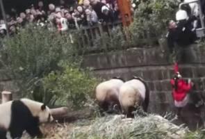 Detik-detik cemas kanak-kanak terjatuh dalam kandang panda gergasi