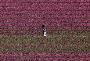 Inilah masanya menikmati keindahan tulip mekar di Netherlands, tetapi...
