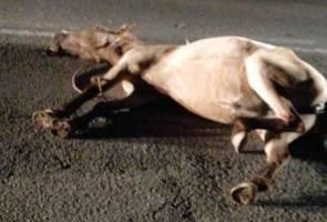 Mekanik  maut langgar kuda padi di Lipis