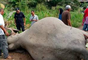 Punca sebenar gajah mati di Kluang diketahui tiga bulan lagi