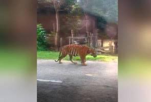 Harimau muncul di tengah jalan raya di Dungun