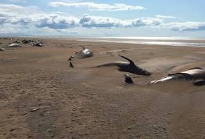 Puluhan paus mati terdampar di pantai Iceland