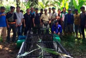 Buaya tembaga seberat 300kg ditangkap