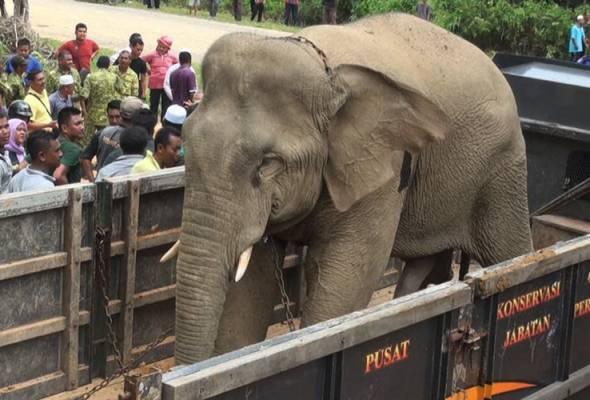 Proses pemindahan gajah itu turut dibantu dua ekor gajah denak yang dibawa dari Pusat Konservasi Gajah Kebangsaan Kuala Gandah.