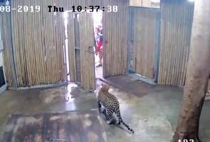 Budak 2 tahun patah tulang pipi diserang harimau di taman safari