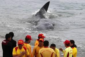 Paus sperma mati selepas tersangkut celah batu