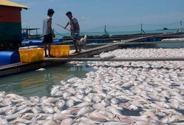 Kegiatan ternak ikan dalam sangkar di Tanjung Piandang lumpuh