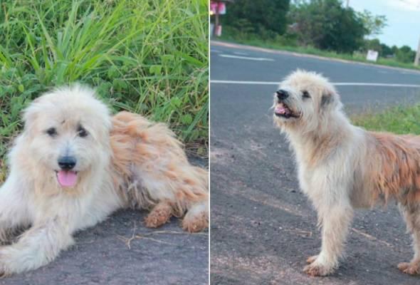 Menurut netizen itu, anjing yang dinamakan Leo itu pertama kali dilihat oleh seorang pejalan kaki. - Sumber foto: Dog Thailand | Astro Awani